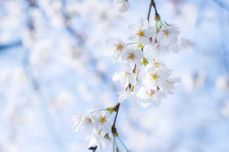 桜の開花・満開時期-春はやっぱり花見でしょ!